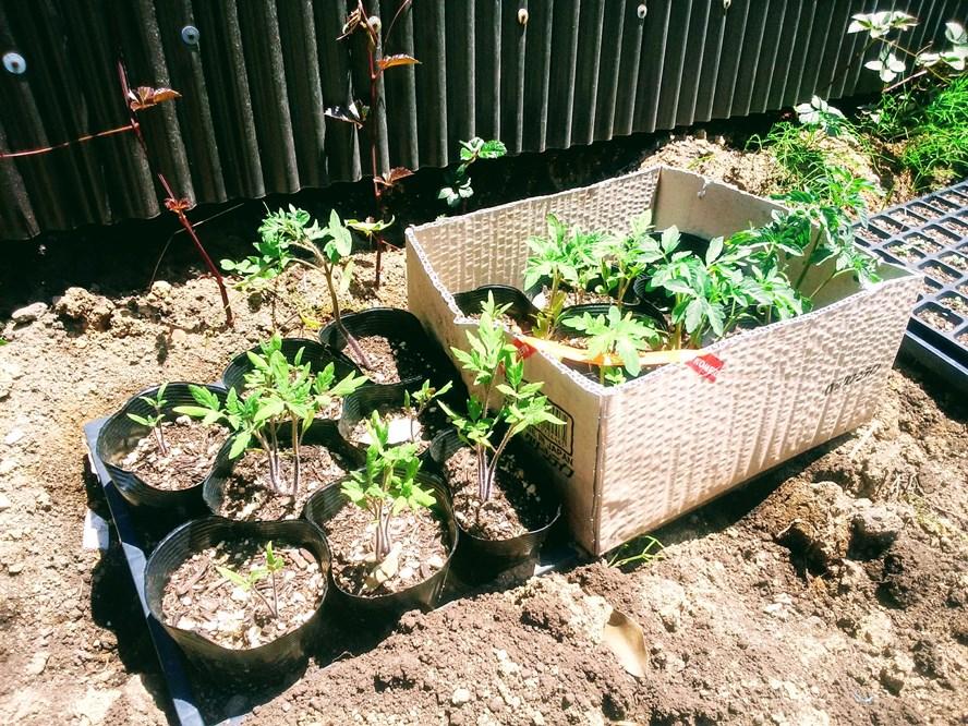 トマト苗たち