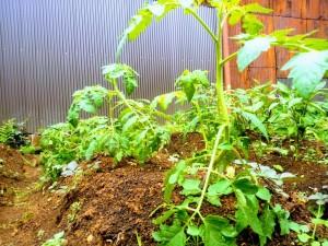 ※トマト。実りはまだだけど立派な苗!