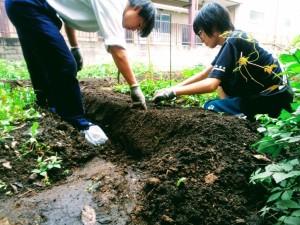 バジル苗を植え付け。