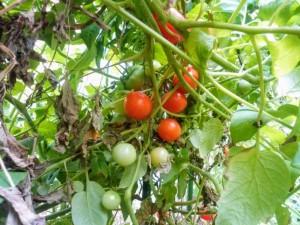 鈴なりミニトマト!