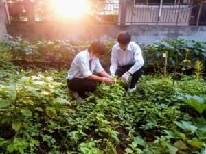バジルの収穫