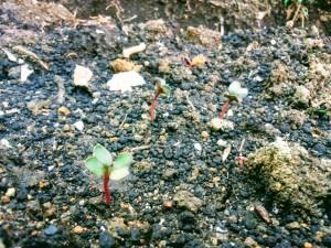 先週蒔いた大根の種、芽が出てきた!