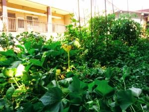 ジャングルみたいですが、一応作物ぼちぼちできてますよ