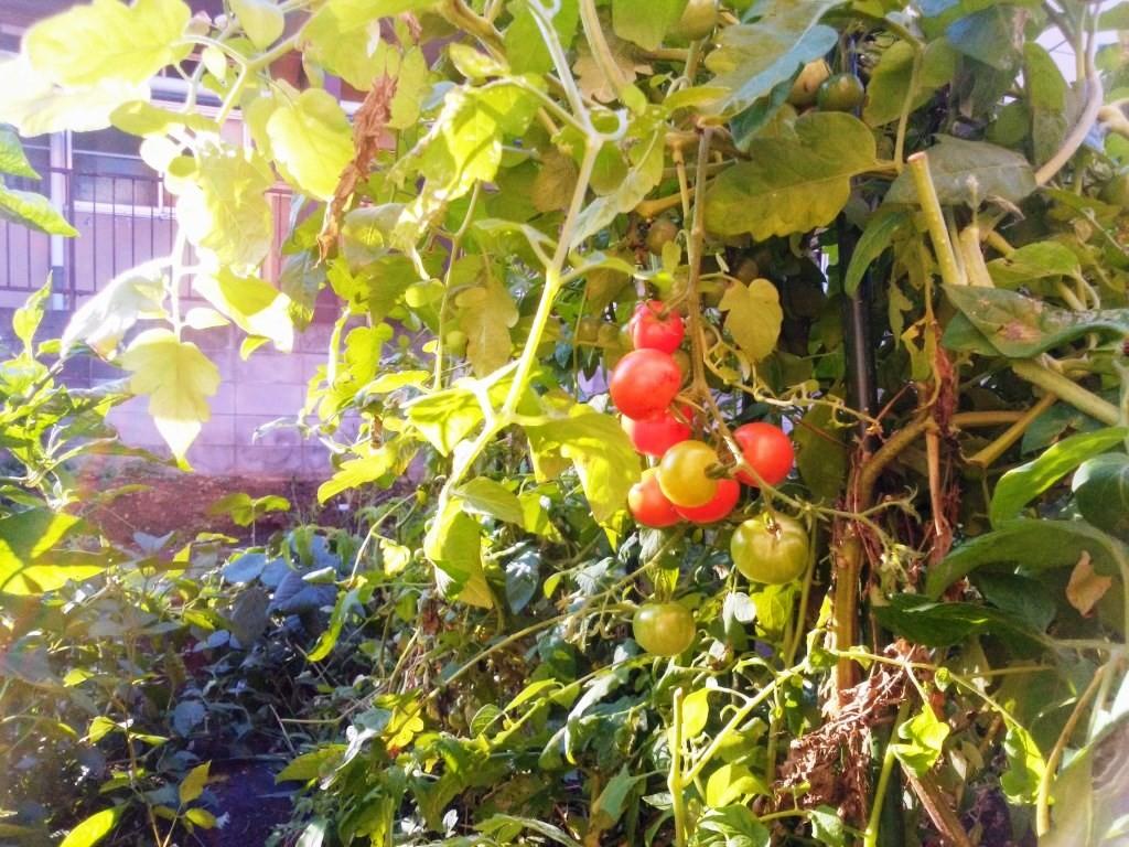 鈴なりミニトマト